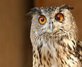 wiseowl